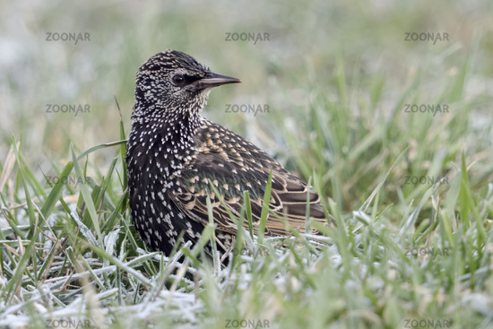 Common Starling * Sturnus vulgaris * in winter, sitting on the ground, watching over its shoulder