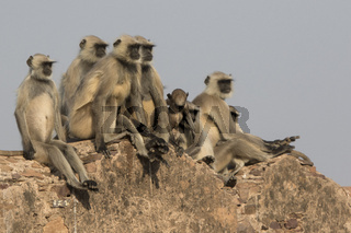 family of gray langurs that sits on the wall of an ancient Indian fort on a sunny winter day