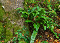 common hart's tongue, hart's-tongue fern