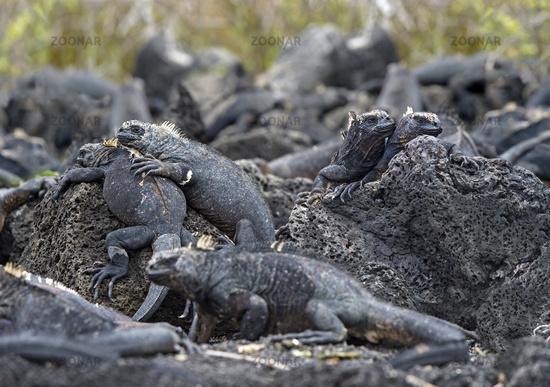 Marine Iguana (Amblyrhynchus cristatus hassi), Santa Cruz Island, Galapagos Islands, Ecuador