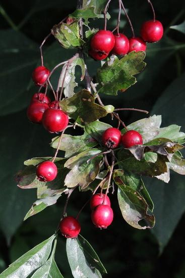 hawthorn, berries