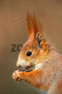 Portrait of Eurasian red squirrel, sciurus vulgaris, in autumn forest.