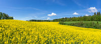 Curved, hilly, blooming rapeseed field