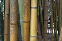Brown and green bamboo