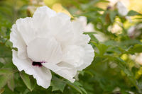 Paeonia suffruticosa white flower