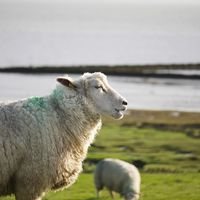 sheeps at tinnum