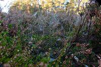 Spider web between heather