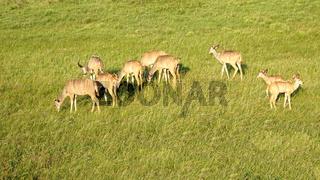 Kudu Herde