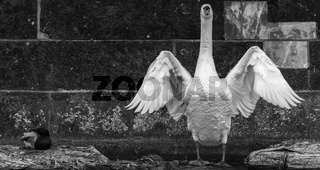 The elegance of a swan in front of a drab wall