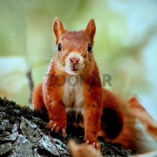 Portrait eines neugierigen Eichhörnchens