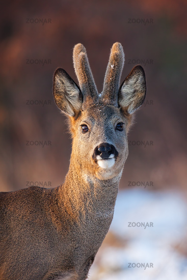 Portrait of roe deer, capreolus capreolus, buck in winter.