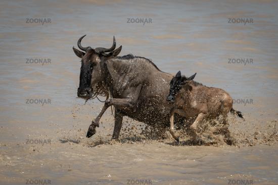 Blue wildebeest and calf gallop through shallows
