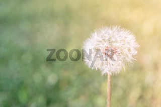 Selective focus on dandelion flowers on nature background. Springtime in meadow.
