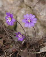 Blue violet anemone flower growing in a stone wall