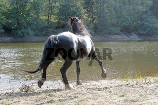 Billy, ein Dale Pony