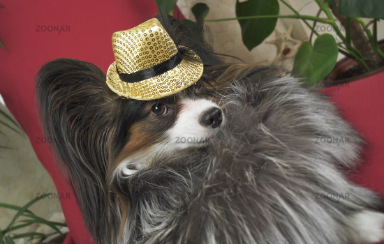 Papillon dog in beautiful suit in a fur coat and a concert hat with a butterfly is removed in the clip