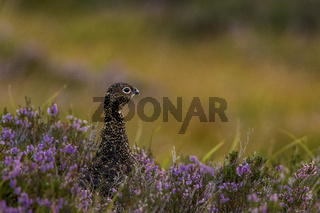 red grouse in amongst heather
