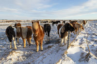 A group of Icelandic horses behind a barbed wire fence in the snow