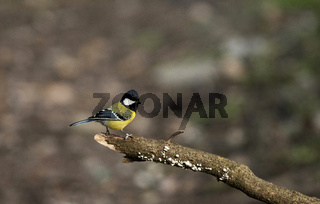 Green-backed tit, Parus monticolus, Sattal, Nainital district in Uttarakhand, India