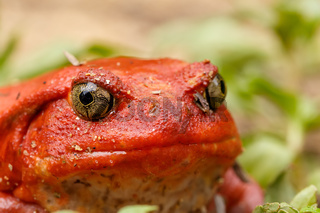 big red Tomato frogs, Madagascar Wildlife