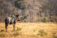 Blue wildebeest standing in the grass.