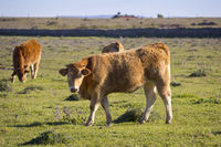 Farm Animals in the Extremadura, Spain