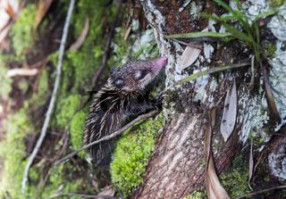 Baby Tenrek (Microgale sp., Tenrecidae),  Ankanin Ny Nofy, Madagaskar