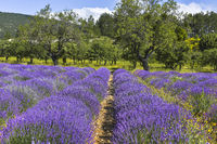 lavender field with fruit trees