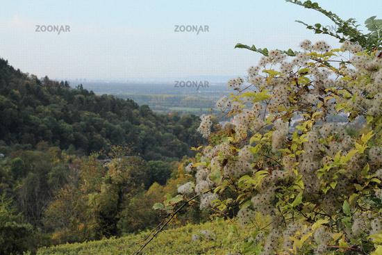 Forest vine (Clematis)