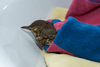 First aid with injured bird - closeup Thrush