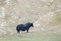 wild yak on plateau