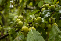 Small green apples on a tree