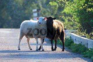 2 Schafe auf einer Strasse
