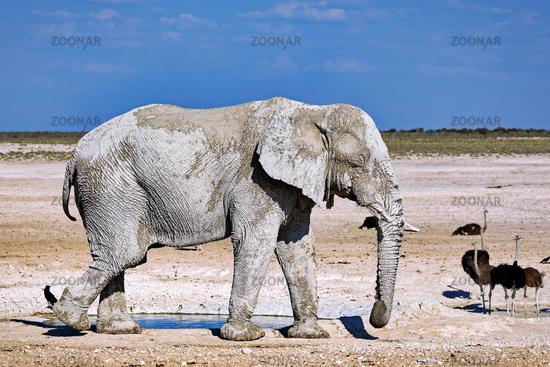 elephant, Etosha National Park, Namibia, (Loxodonta africana)