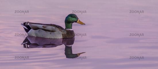 Male Mallard wading in twilight sky colors.