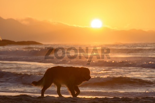 Golden Retriever paced at sunrise on the beach sand at sunrise