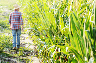 Middle age caucasian farm worker walking along maize corn field for inspection. Harvest care concept