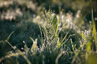 fresh dew drops on green grass in the morning sun