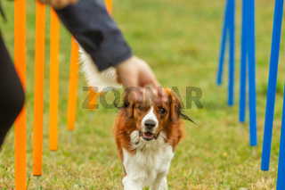 A young australian shepherd dog learns to run the slalom and getting a reward from the owners hand in agility training.