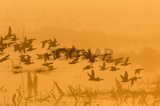 Flock of ducks flying in the dawn mist over the lake