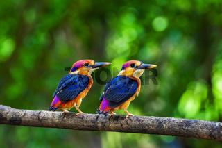 Two young Oriental dwarf kingfisher, Chiplun, Maharashtra, India.