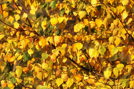 Leaves of the birch in autumn