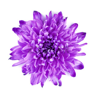 Violet Chrysanthemum Flower