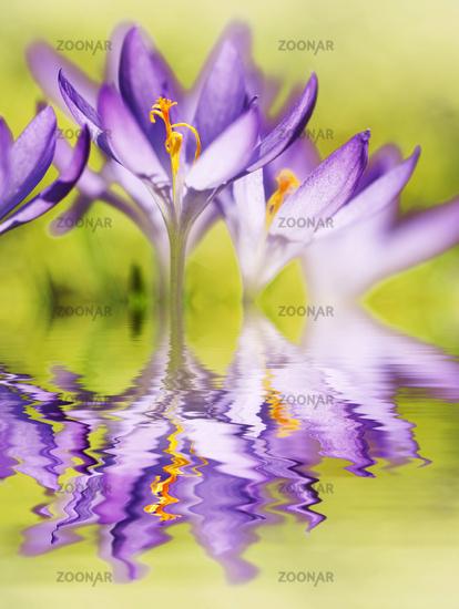 Crocus, crocusses, crocus vernus, spring, easter, reflexion, copy space