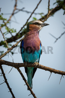 Lilac-breasted roller on branch with head turned