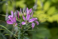 Spinnenblume oder Spinnenpflanze (Cleome spinosa, Cleome hassleriana, Tarenaya hassleriana)