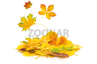 Autumn leaves fall onto a heap of autumnal foliage isolated on white background with narrow depth of field.
