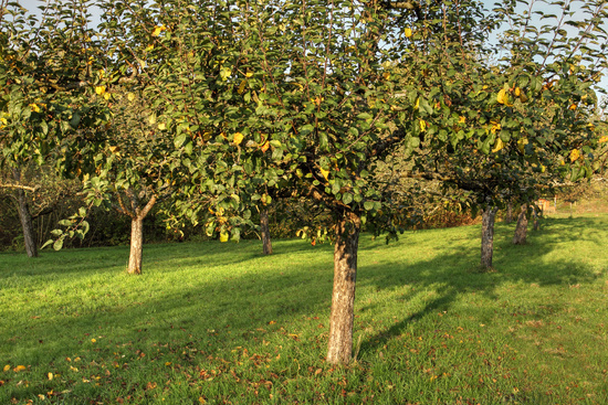 Meadow orchard