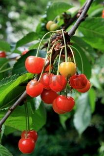rote Kirschen am Zweig