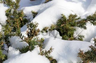 Schmelzender Schnee auf einem Nadelbaum